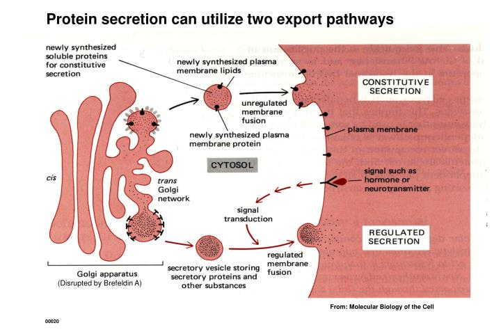 Protein secretion can utilize two export pathways