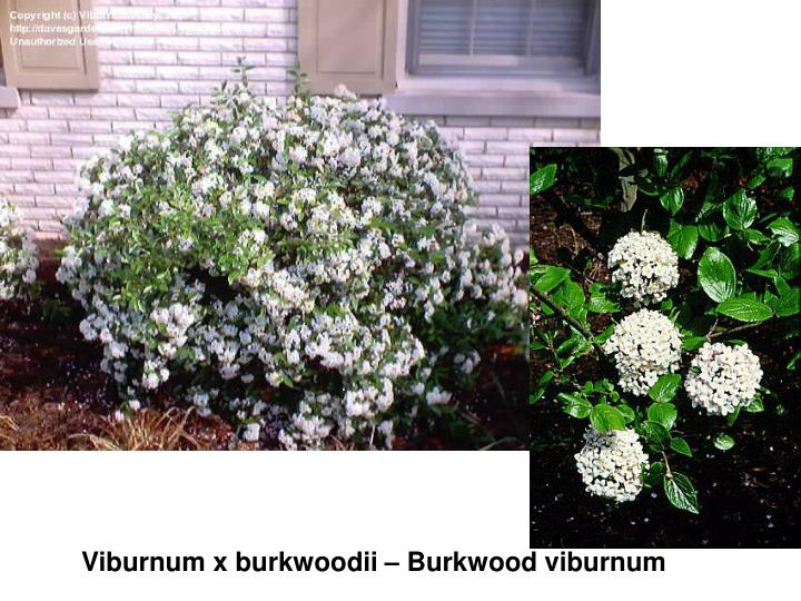 Viburnum x burkwoodii – Burkwood viburnum