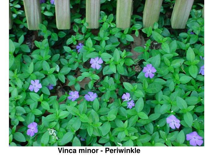 Vinca minor - Periwinkle