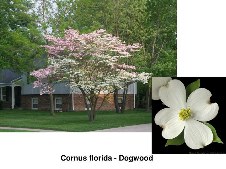 Cornus florida - Dogwood