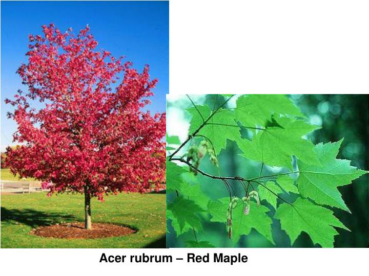 Acer rubrum – Red Maple