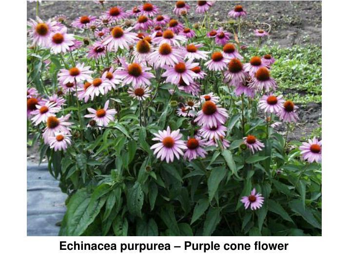 Echinacea purpurea – Purple cone flower