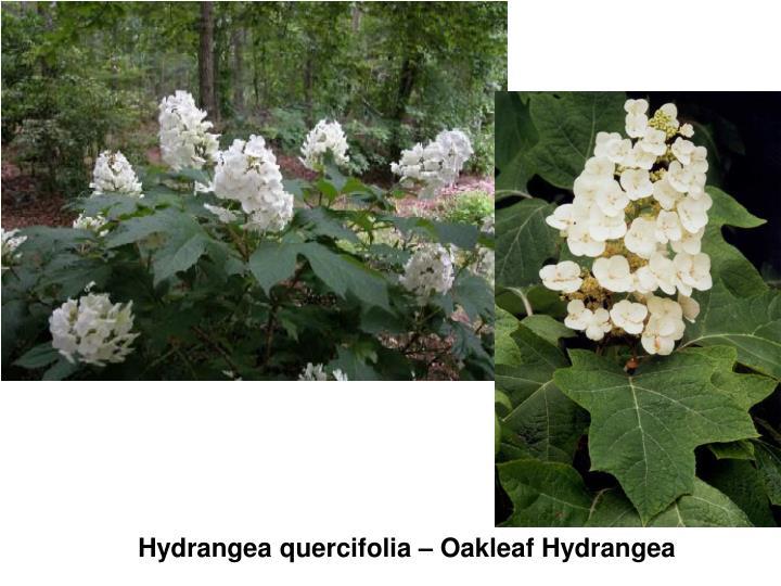 Hydrangea quercifolia – Oakleaf Hydrangea
