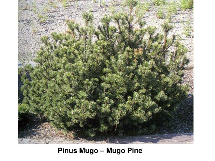 Pinus Mugo – Mugo Pine