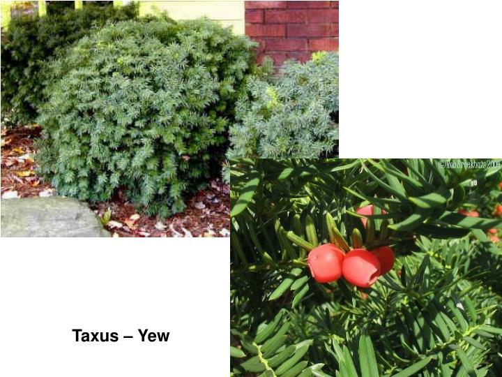 Taxus – Yew