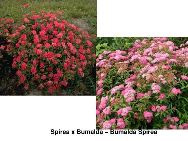 Spirea x Bumalda – Bumalda Spirea