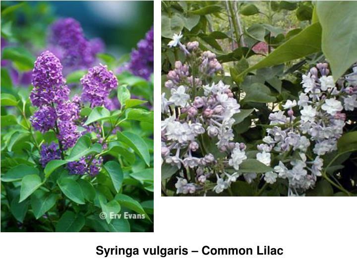 Syringa vulgaris – Common Lilac
