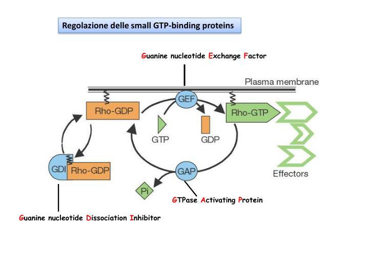 Regolazione delle small GTP-