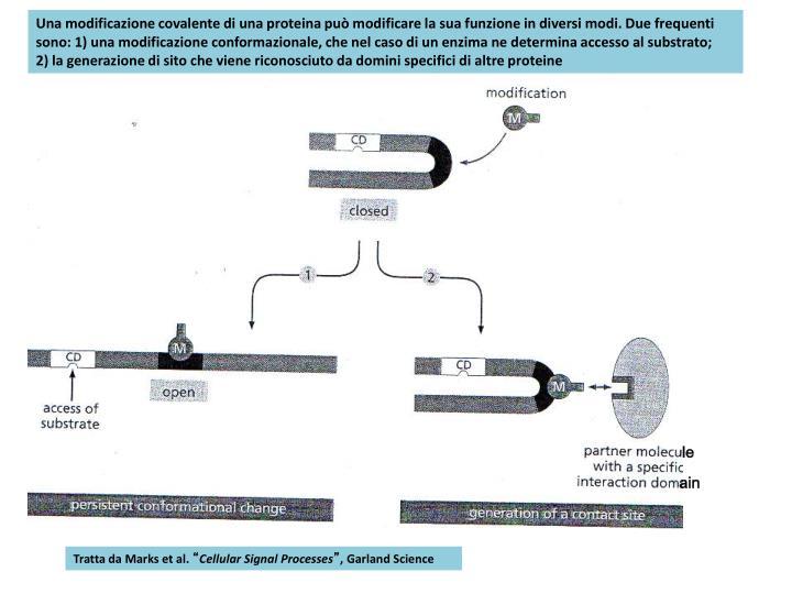 Una modificazione covalente di una proteina può modificare la sua funzione in diversi modi. Due frequenti