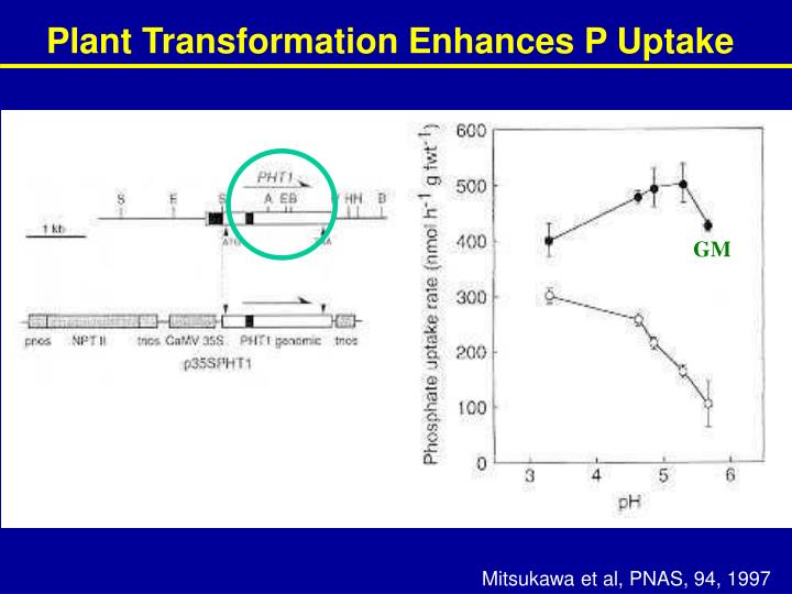 Plant Transformation Enhances P Uptake