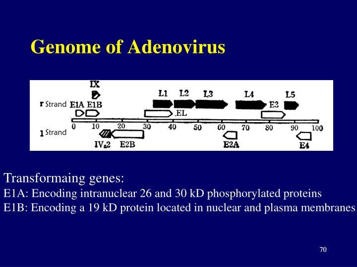 Genome of Adenovirus