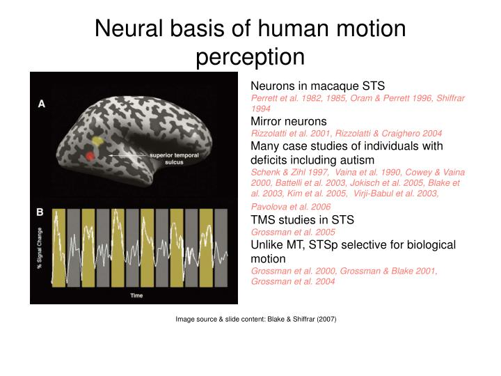 Ppt biological motion perception powerpoint presentation for Mirror neurons provide a biological basis for