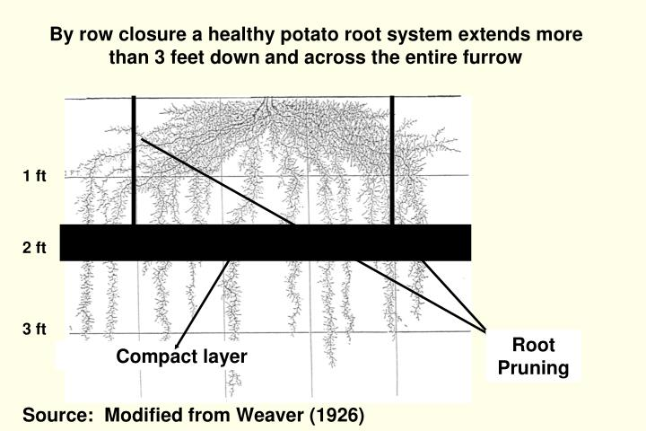 By row closure a healthy potato root system extends more than 3 feet down and across the entire furrow