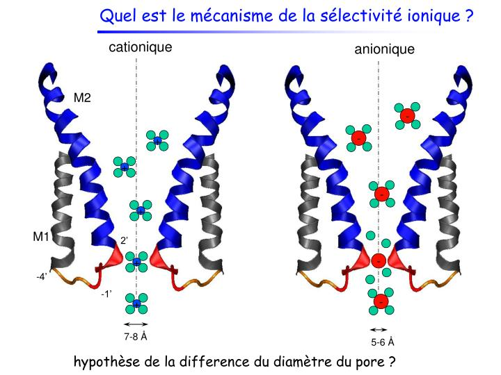 Quel est le mécanisme de la sélectivité ionique ?