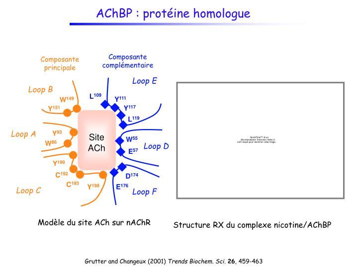 AChBP : protéine homologue
