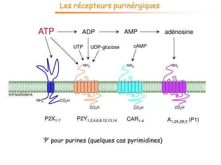 Les récepteurs purinérgiques