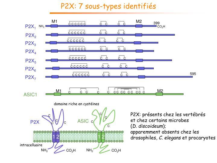 P2X: 7 sous-types identifiés