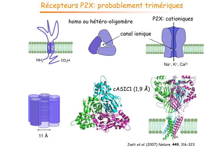 Récepteurs P2X: probablement trimériques