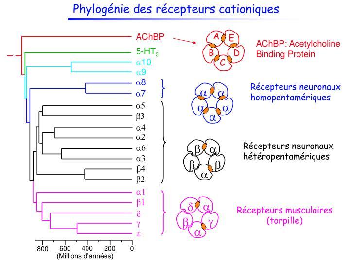 Phylogénie des récepteurs cationiques