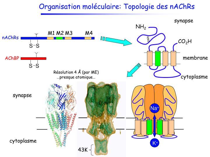Organisation moléculaire: Topologie des nAChRs