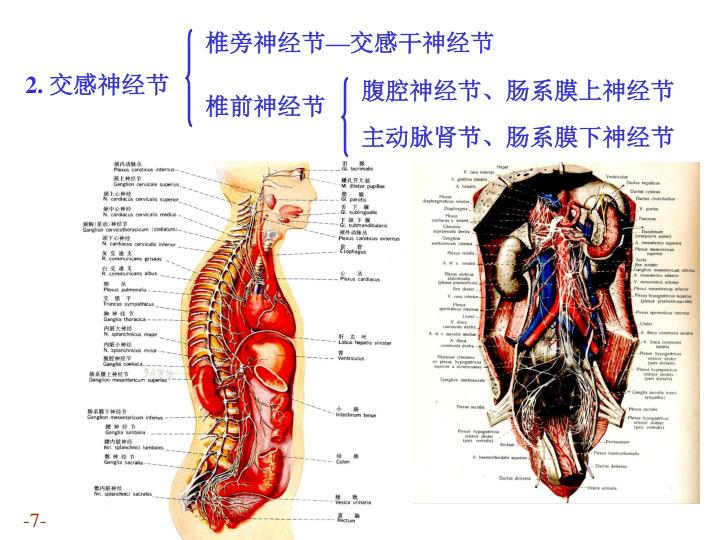 椎旁神经节