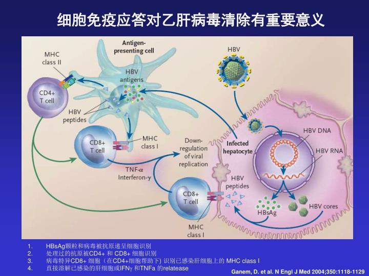细胞免疫应答对乙肝病毒清除有重要意义