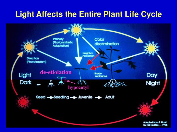 Light affects the entire plant life cycle