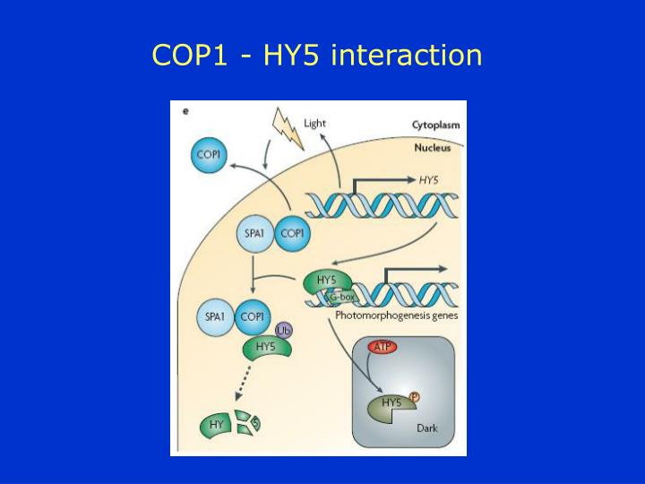 COP1 - HY5 interaction