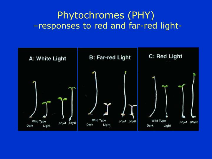 Phytochromes (PHY)