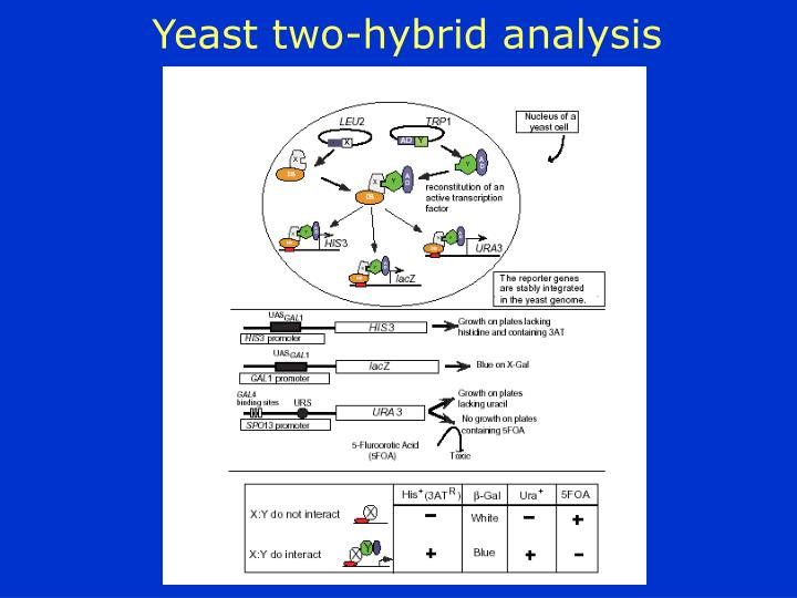 Yeast two-hybrid analysis