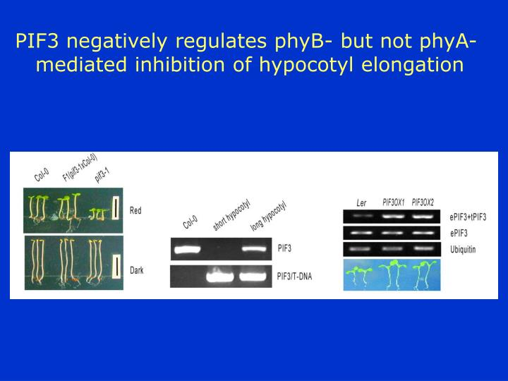 PIF3 negatively regulates phyB- but not phyA-