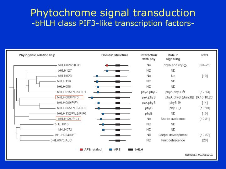 Phytochrome signal transduction