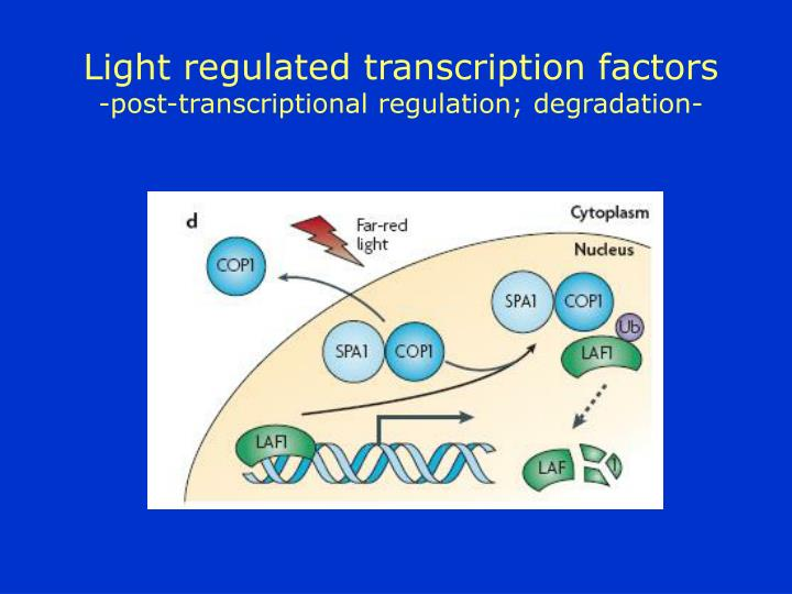 Light regulated transcription factors