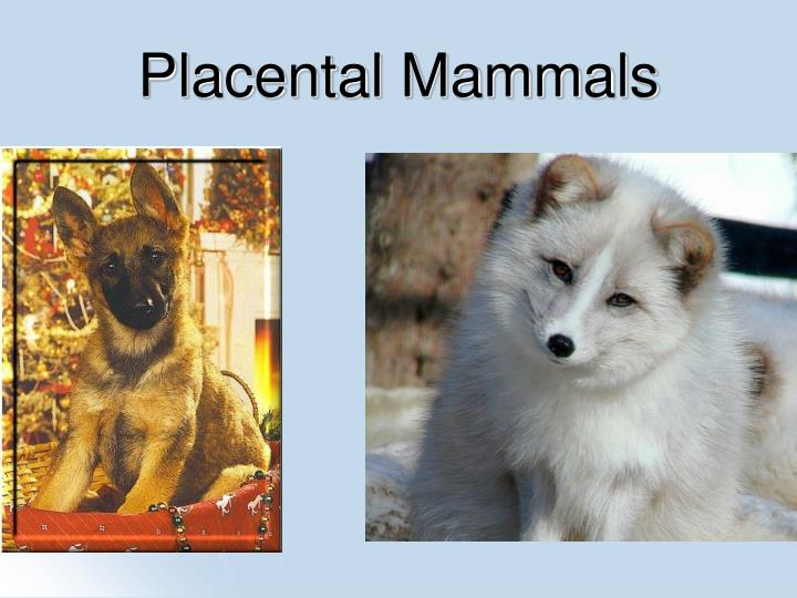 PPT - Mammal Orders PowerPoint Presentation - ID:4648535