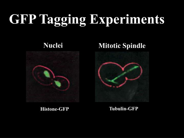 GFP Tagging Experiments