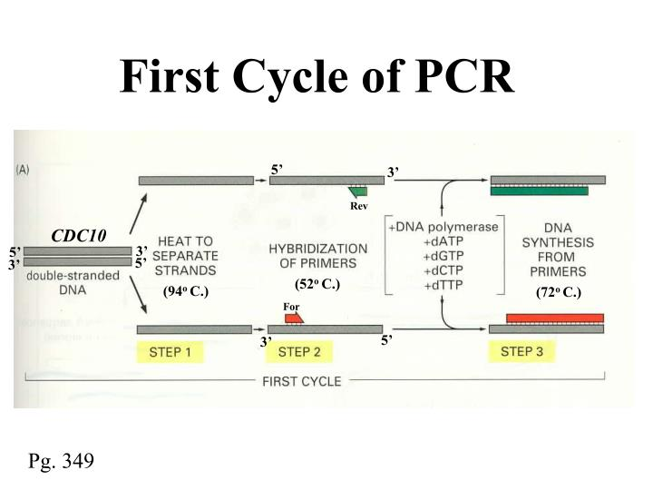 First Cycle of PCR