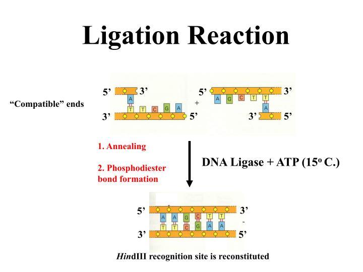 DNA Ligase + ATP (15