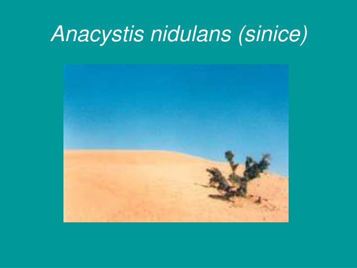 Anacystis nidulans (sinice)