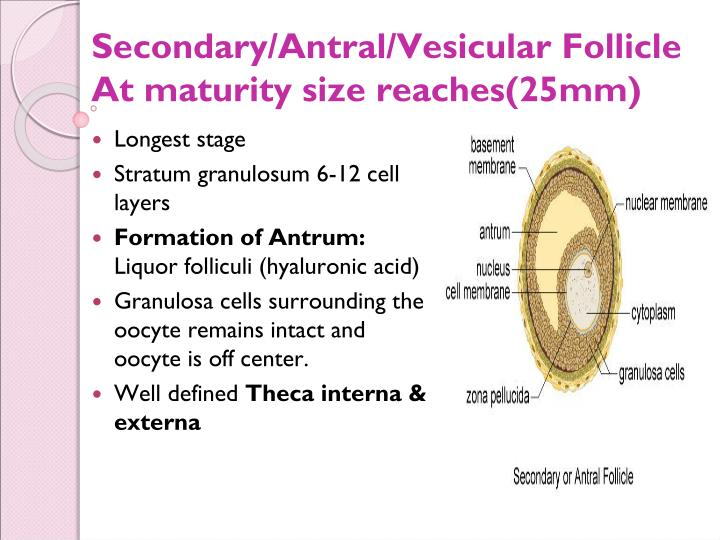 Cyst vs Egg vs Follicle Clearing up the confusion Fertility.