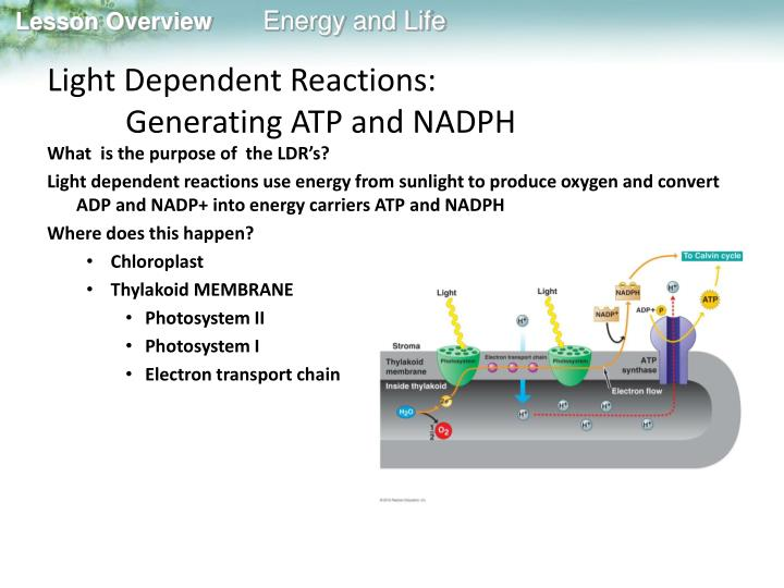 Light Dependent Reactions: