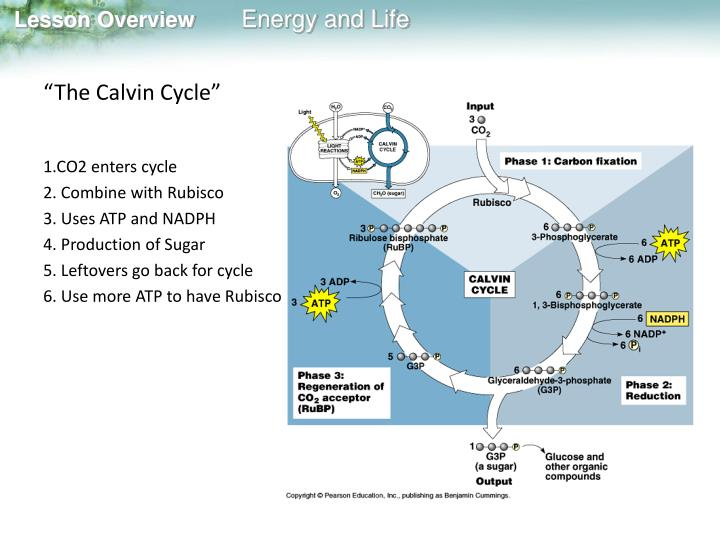 """The Calvin Cycle"""