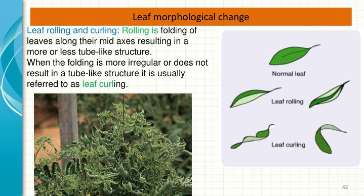 Leaf morphological change