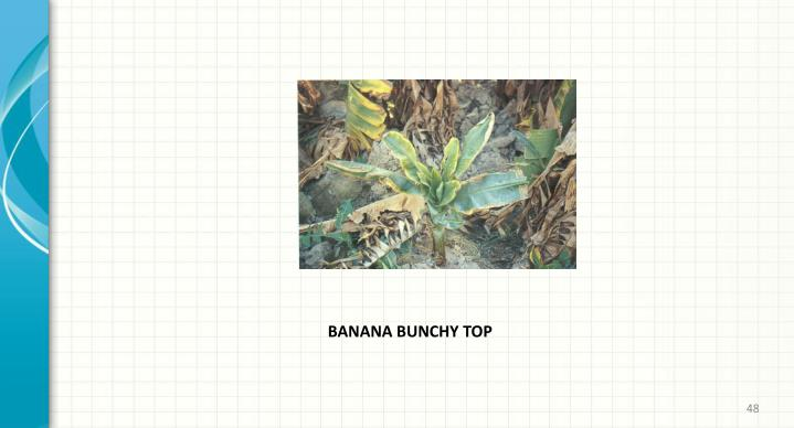 BANANA BUNCHY TOP