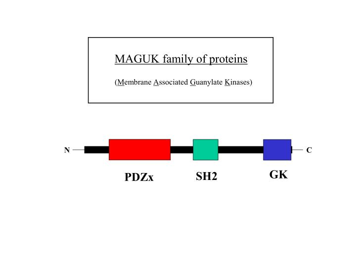 MAGUK family of proteins