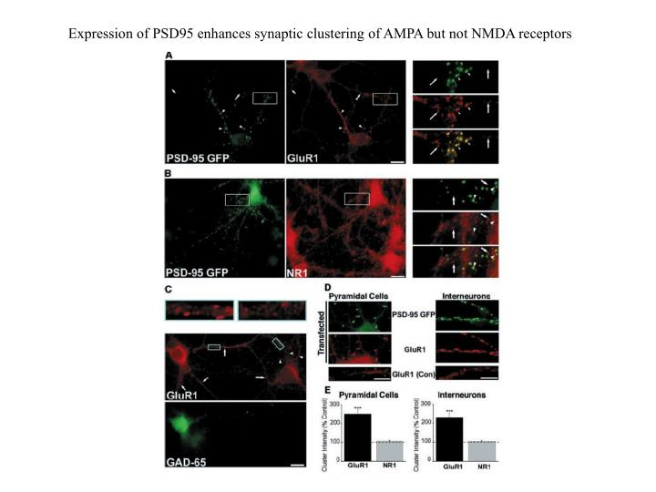 Expression of PSD95 enhances synaptic clustering of AMPA but not NMDA receptors
