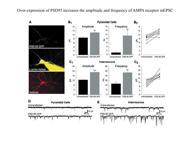 Over-expression of PSD95 increases the amplitude and frequency of AMPA receptor mEPSC