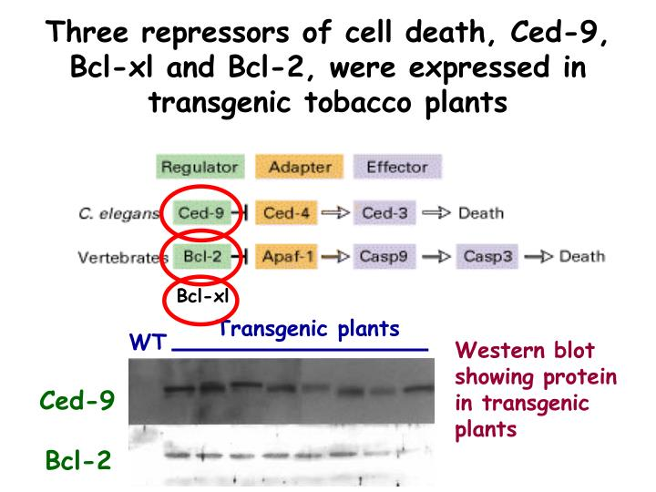 Three repressors of cell death, Ced-9, Bcl-xl and Bcl-2, were expressed in transgenic tobacco plants