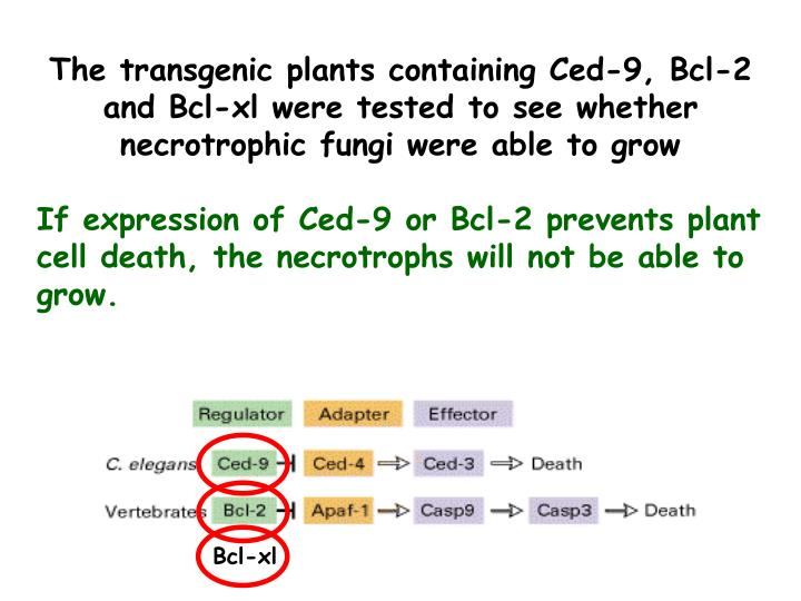 The transgenic plants containing Ced-9, Bcl-2 and Bcl-xl were tested to see whether necrotrophic fungi were able to grow