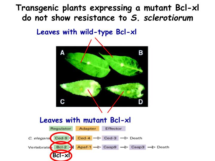 Transgenic plants expressing a mutant Bcl-xl do not show resistance to