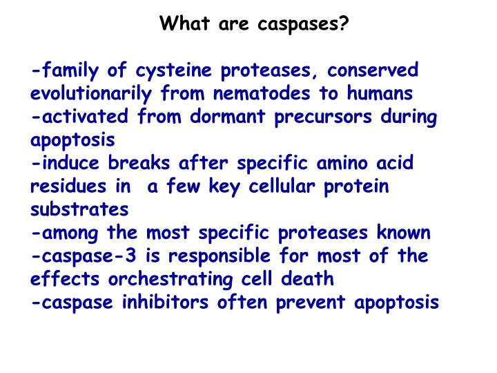 What are caspases?